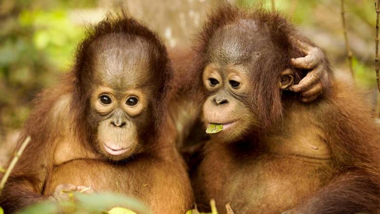 Orangutan Jungle School Episode 2 airs Wed 22 Aug on Channel 4